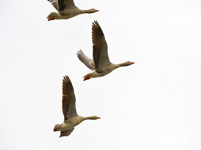Geese at Ampton Hall