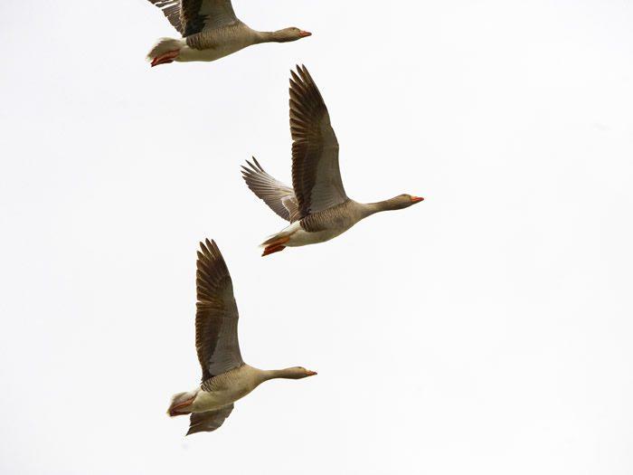 Geese at Ampton Hall