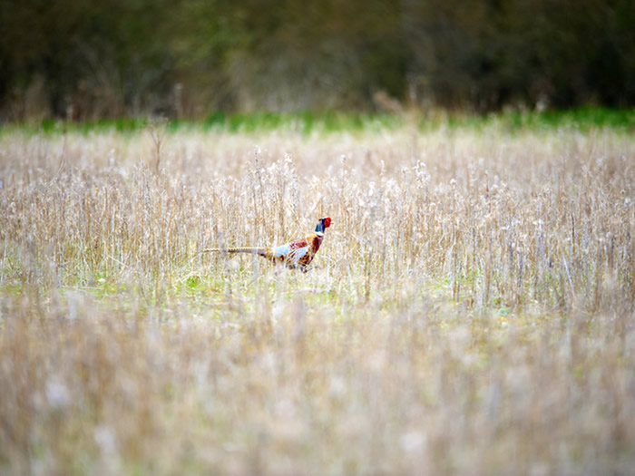 Pheasant on Box Tree Farm